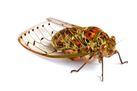 cicada image 2